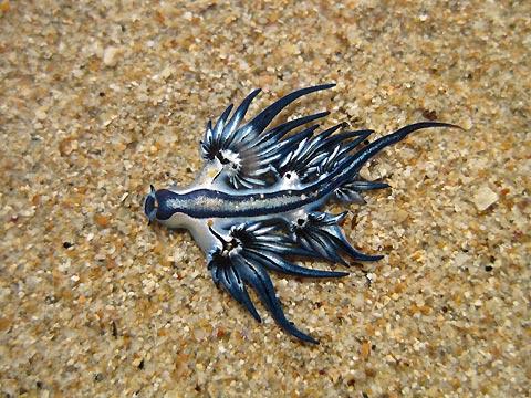 Deniz Sülüğü (Glaucus Atlanticus)